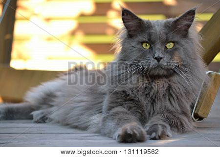 A gray Maine coon is comfortably on the floor