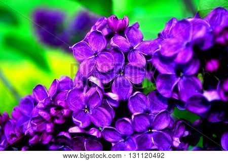 Closeup of blooming beautiful purple lilac flowers. Selective focus at the central flowers soft focus processing. Floral spring background