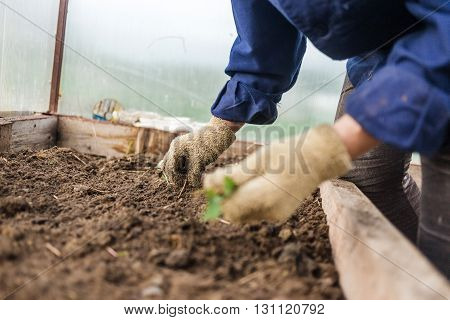 weeding in the vegetable garden, closeup. Female hands in gloves. Concept care of cultural plants.