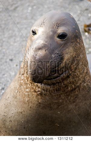 Elephant Seal Portrait