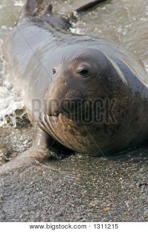 Elephant Seal Emerging