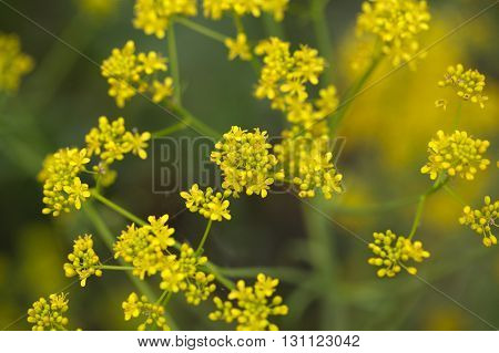 Flowers of woad or glastum Isatis tinctoria. A plant used as dyeing agent for blue color.