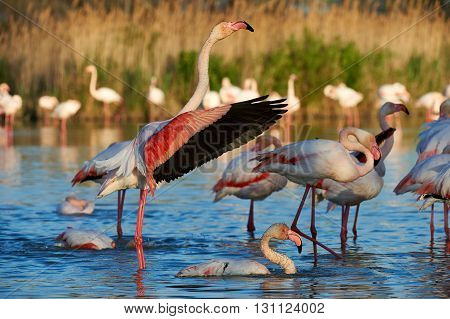 Beautiful greater flamingos take off in Camargue