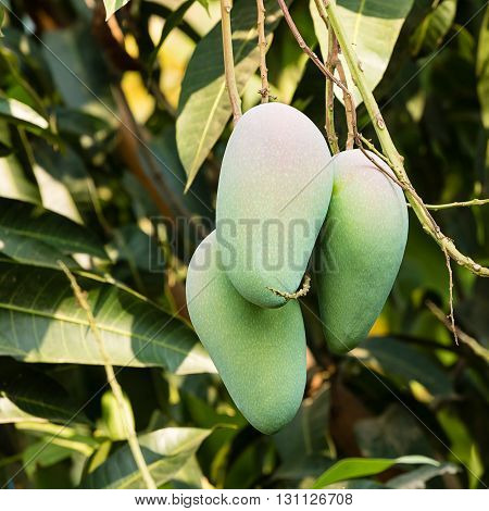 Close up of Mango on a tree
