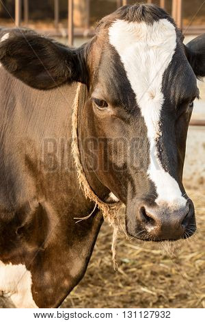 close up of Black and white cow