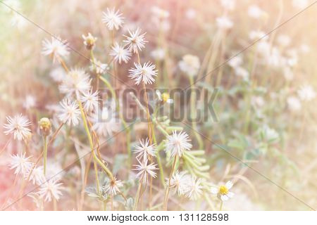 White And Yellow Grass Flower Field In Soft Mood Pink Pastel Filter For Nature Romantic Picture Back