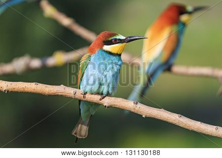 color and silhouette of bird.twoo bird , bee eater