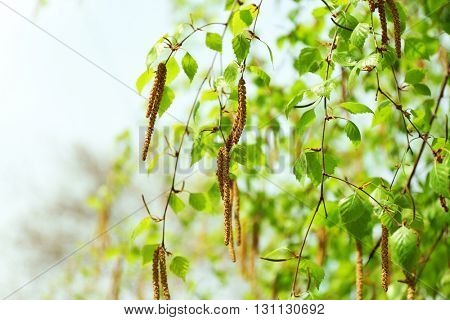 Green birch in spring on blurred sky background