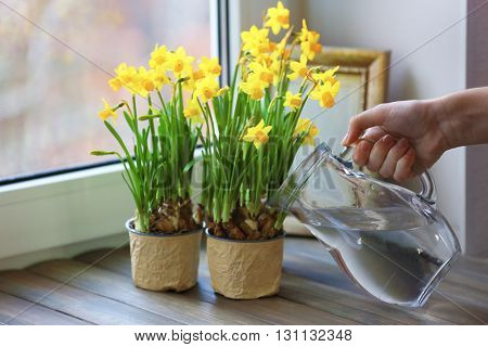 Woman watering narcissus on the windowsill