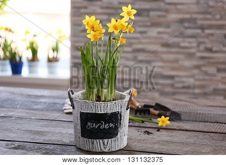 Beautiful narcissus in pot on the table
