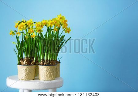 Beautiful narcissus in pots on the wall background