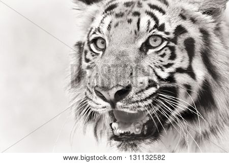 Beautiful angry face of Royal Bengal Tiger Panthera Tigris West Bengal India. It is largest cat species and endangered in Sundarban mangrove forest of India and Bangladesh. Black and white image.