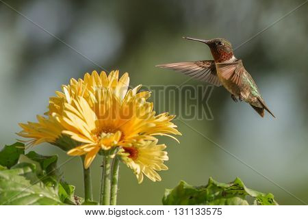 Ruby-throated Hummingbird in flight. Taken in Kentucky.