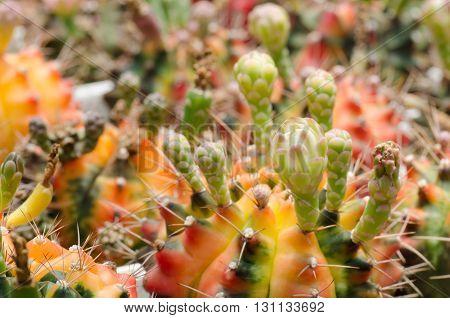 cactus in pot, close up, macro, bud