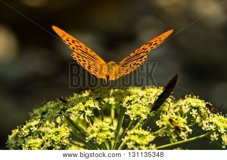 Orange butterfly on a plant with small white flowers at forest, west Serbia