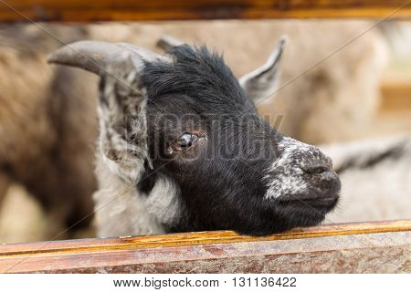 Portrait Of Little Goat In The Fence
