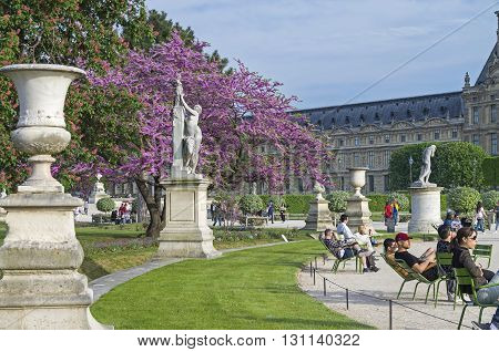 PARIS FRANCE - MAY 8 2016: Tuileries Garden in early May. Blossoms European Siliquastrum (Judas tree). Paris France.