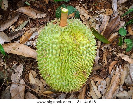 Fresh durian fruit is fallen from durian tree on floor in the garden.