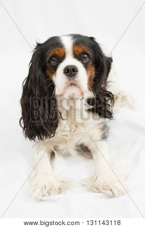 Cavalier King Charles dog sitting in front of white background