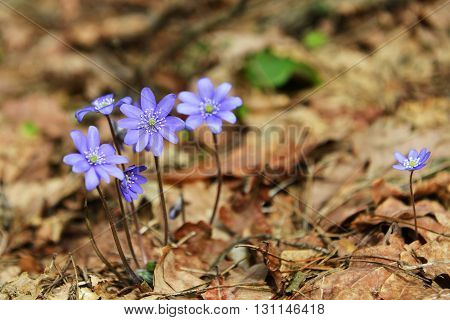 Blossoming hepatica in spring on forest glade