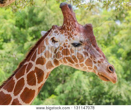 A tall giraffe on a nice day