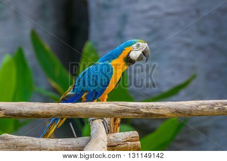 Blue and yellow Macaw parrot show in zoo