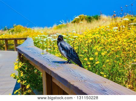 Wooden path with a handrail among the blossoming meadows. On a handrail the gray crow sits