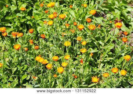 bright flowers of a calendula in a front garden