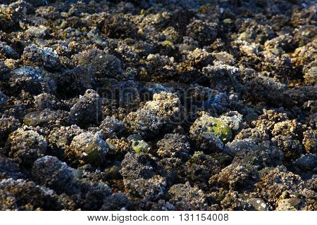 a picture of an exterior Pacific Northwest Puget Sound shoreline with beach rocks with barnacles