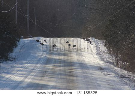 Wild Turkey's (Meleagris gallopavo) on a snow covered country road.