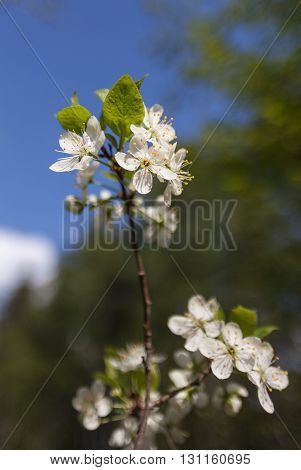 White plum blossoms and green leaves on a branch against blue sky and green wood