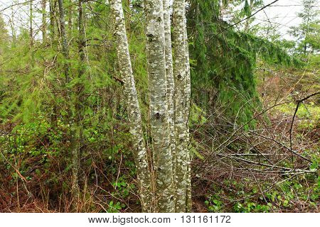 a picture of an exterior Pacific Northwest forest with Alder trees