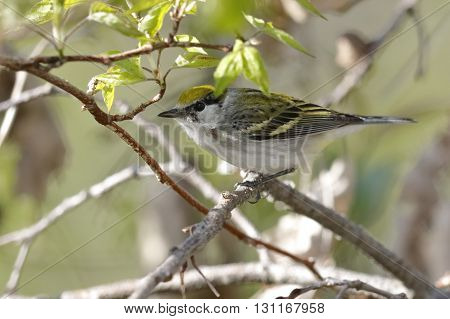 Female Chestnut-sided Warbler In Spring - Ontario, Canada