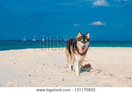 Playful Siberian Husky dog on the beach with blue sky