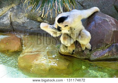 A white Gibbon near the waters edge