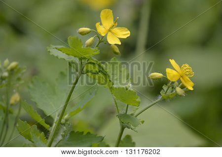 yellow flowers on a green background celandine May