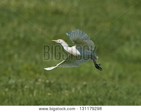 Cattle egret (Bubulcus ibis) in flight with vegetation in the background