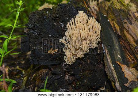 Mushrooms growing on an old fallen tree trunk