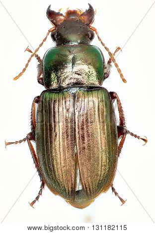Green Ground Beetle Harpalus on white Background  -  Harpalus affinis (Schrank 1781)
