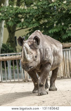 Rhinoceros walks around the area in the zoo