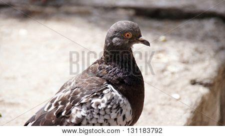 White dove. Feral Pigeon. Portrait.