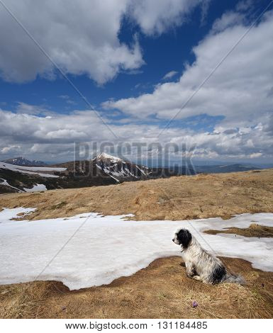 Spring landscape with last snow. Dog sitting on a mountain meadow. Sunny day. Carpathians, Ukraine, Europe