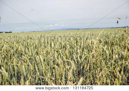 Green Wheat (triticum) Field On Blue Sky In Summer. Close Up Of Unripe Wheat Ears. Slovakia