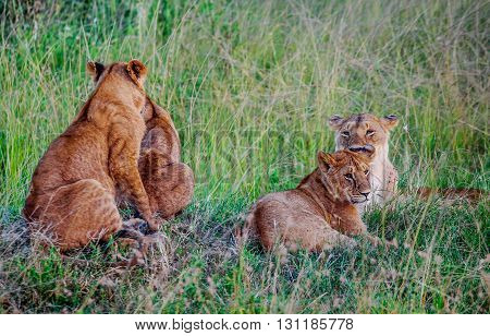 Lioness with her cubs resting in the grass in Kenya Africa