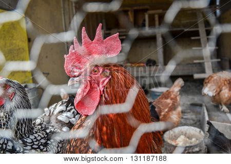 Caged rooster and hens in chicken coop. Close up of red rooster head on the traditional rural farmyard