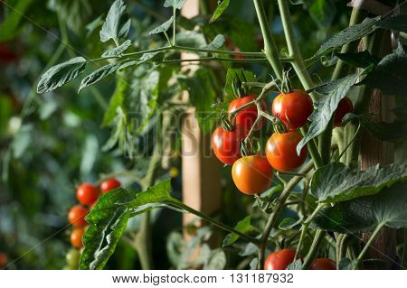Cherry tomatoes plant growing. Homegrown organic food tomatoes ripen gradually