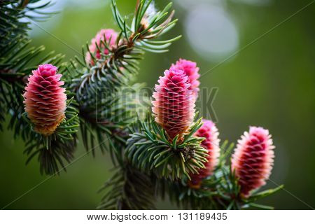Young Beautiful Pink Fir Cones On A Branch