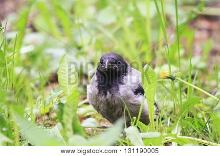angry and funny chick gray crows sitting in the green grass