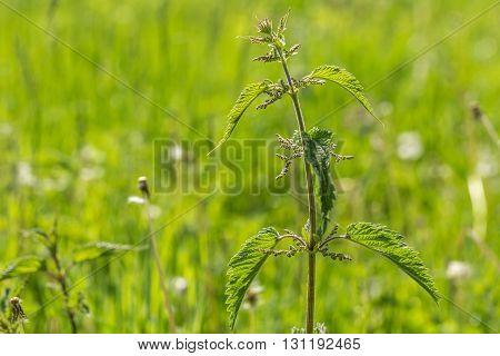 Nettle Growing In Outdoor