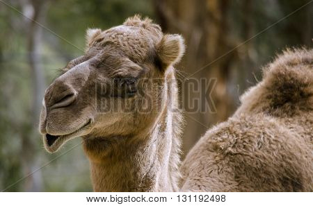 this is a head shot of a dromedary camel